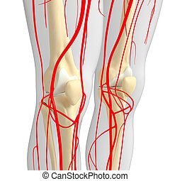 Human knee arterial system - 3d rendered illustration of...