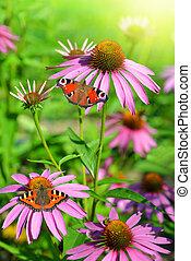 echinacea purpurea - Blooming medicinal herb echinacea...