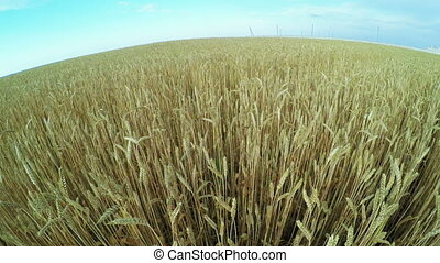 Wheat field - Waves from wind field of ripe wheat
