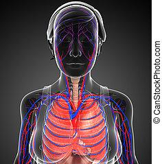 hembra, respiratorio, Sistema, ilustraciones,