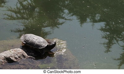 Turtle in pond - On shore of pond sitting in stone river...
