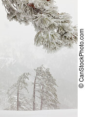 branch - snowy pine branch in the fog on a background of...