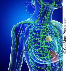 Lymphatic system of female body - Illustration of female...