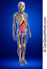 circulatorio, linfático, Esquelético, nervioso, cuerpo,...