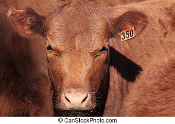 Shorthorn Cattle - Australian beef shorthorns are known for...