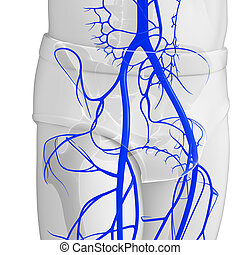 pelvic girdle anatomy - 3d rendered illustration of pelvic...