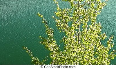 Tree in a breeze wavelets the lake - The tree and its leaves...
