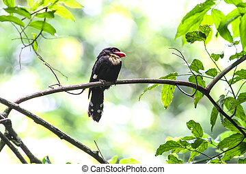 Dusky Broadbill - Close up portrait of Dusky Broadbill...