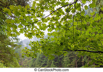 Vine Maple at Columbia River Gorge