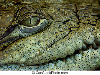 crocodile\'s face