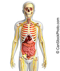 Male skeleton with nervous and digestive system artwork -...