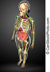 Lymphatic, skeletal, nervous and circulatory system of...