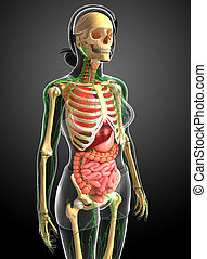 Lymphatic, skeletal and digestive system of Female body...