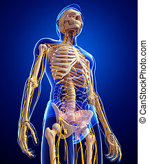 Male skeleton and nervous system artwork - Illustration of...
