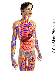 male digestive system