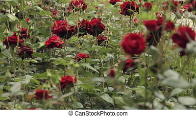 Flowering shrubs of the red delicious smelling roses -...