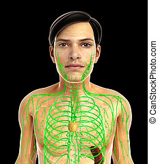 male lymphatic system - 3d rendered illustration of male...
