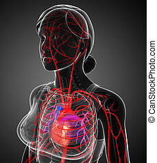 Female arterial system - 3d rendered illustration of female...