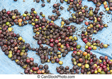 Image of Luwak coffee beans in Bali Coffee Plantage,...