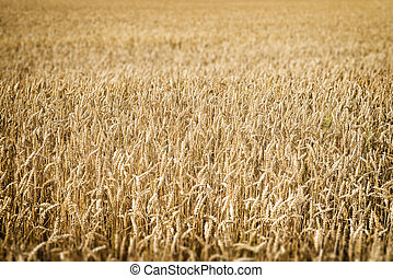 Wheatfield Franconia - closeup image of a wheatfield in...