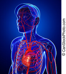 Male arterial system - 3d rendered illustration of male...