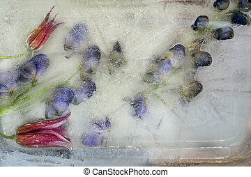 Background of aconite flower frozen in ice - Frozen fresh...