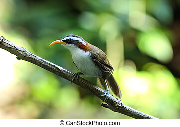 White-browed Scimitar-Babbler - White-browed...