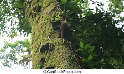 Coati descending from the tree in the National Park of Costa...