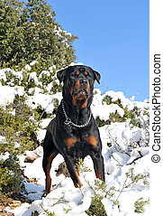 rottweiler in the snow - attentive purebred rottweiler...