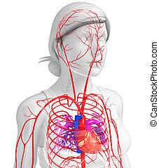 Female arterial system - 3d rendered illustration of female...