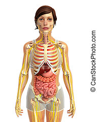 female digestive system - 3d rendered illustration of female...