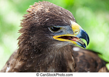 Golden eagle close up - Closeup of the head of a golden...