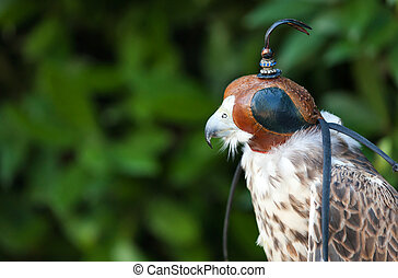 Peregrine falcon with mask - Beautiful trained Peregrine...
