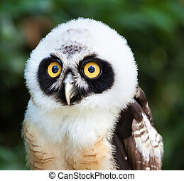 Portrait of Spectacled Owl - Portrait of young Spectacled...