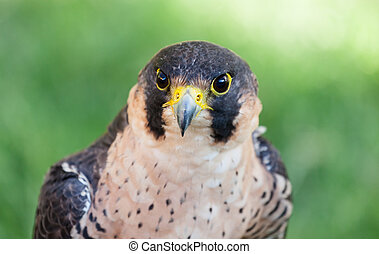 Peregrine Falcon - Close up of the face of a Peregrine...