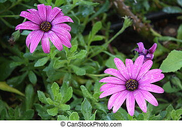 Daisies - Two pink daisies over a leafy and green...