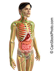 male digestive system - 3d rendered illustration of male...