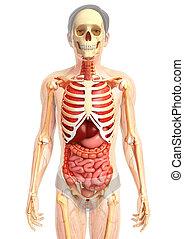 male digestive sytem - 3d rendered illustration of male...