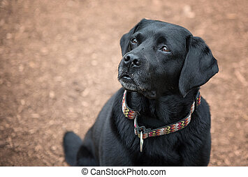 Black Lab Portrait - Black Lab portrait in nice light with a...