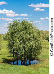 A group of trees standing in a puddle. - Group green trees,...