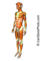 male muscles anatomy