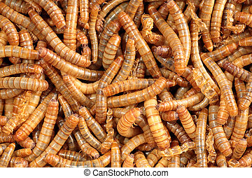 Closeup of a scatter of living mealworm - Scatter of living...