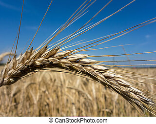 wheat field - a field of grain wheat just before the harvest...