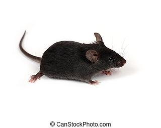 pequeno, rato