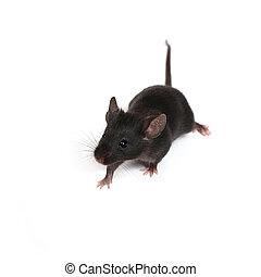 poco, ratón