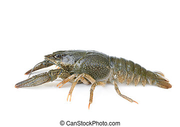 Crawfish alive on white background