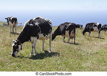 Grazing cows in a meadow. Sao Jorge island. Azores....