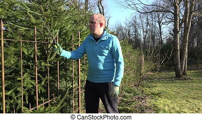 man cut hedge shear - Gardener man in blue jumper cut fir...