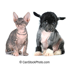 Bald kitten and puppy sits isolated on white