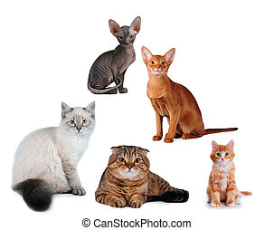 Group of cats different breed isolated on white. Siberian,...